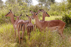 Impala Group Royalty Free Stock Photo