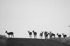 Impala Group. A group of impala antelope on the horizon Stock Image
