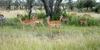 Impala Group Royalty Free Stock Photography
