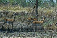 Impala-Gruppe, Aepyceros melampus, Nationalpark Gorongosa, Mosambik Stockfoto