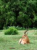 The impala has a rest. Stock Photo