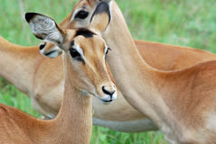 Impala Herd. Female Impalas take a break from grazing Royalty Free Stock Photos