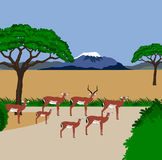 Impala herd. Illustration of a impala herd in an african scenery. Kilimanjaro in the background Stock Photo