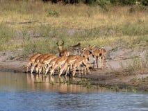 Impala herd, Aepyceros melampus, drinks from the lake, Bwabwata reservation, Namibia. The Impala herd, Aepyceros melampus, drinks from the lake, Bwabwata stock image
