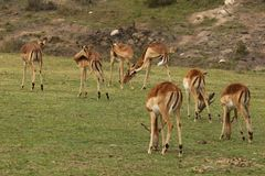 Impala herd at Boteilierskop Private Reserve royalty free stock photos