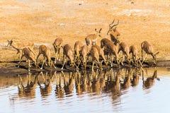 Impala herd drinking Stock Photo