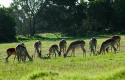 Impala herd grazing Royalty Free Stock Photos