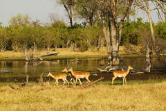 Impala Herd Grazing on the open plains Stock Photo