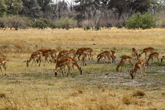 Impala Herd Grazing on the open plains Royalty Free Stock Photos