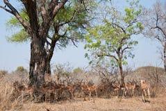 Impala herd Royalty Free Stock Photography