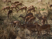 Impala. A herd of impalas in Africa Stock Image