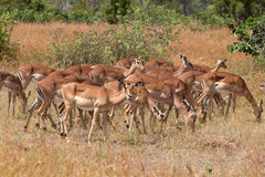 Impala herd. In the Krueger National Park in South Africa Royalty Free Stock Photography
