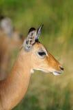 Impala herd in the Masai Mara Royalty Free Stock Photos