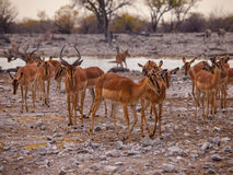 Impala herd Royalty Free Stock Photo