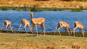 Impala herd Royalty Free Stock Photography