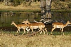 Impala Herd Stock Photos