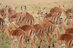 Impala herd in Sabi Sand Royalty Free Stock Photos