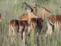 Impala-Herde Stockfotos