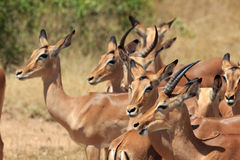 Impala Herde. Impala herd in the innkeeper national park in South Africa Royalty Free Stock Photography