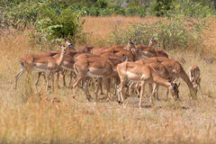 Impala Herde Royalty Free Stock Photos