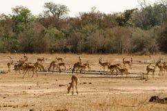 Impala-Herde, welche die Wiesen weiden lässt Lizenzfreie Stockfotos