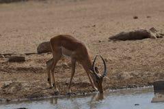 Impala het drinken Stock Foto