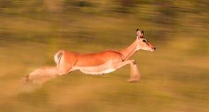 Impala het lopen Royalty-vrije Stock Foto's