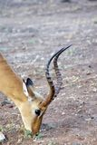 Impala in het Nationale Park van Chobe Stock Afbeelding