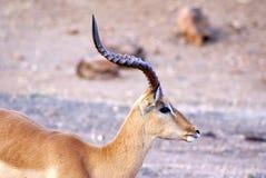 Impala in het Nationale Park van Chobe Royalty-vrije Stock Foto's