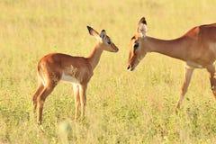 Impala - het Wildachtergrond - Mijn mooie Moeder Stock Afbeeldingen