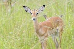 Impala  in high grass Stock Photo