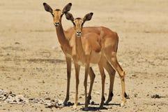 Impala - Hintergrund der wild lebenden Tiere von Afrika - Doppelstarren des Rotes Lizenzfreie Stockbilder