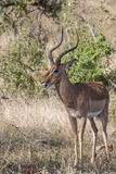 Impala i Bush Royaltyfri Bild