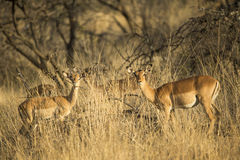 Impala i grass south africa Royalty Free Stock Photography