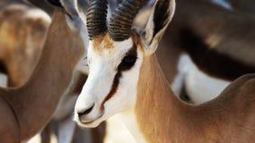 impala i melampusen för Aepyceros för africa //A den manliga impalaantilop i naturlig livsmiljö, arkivbild