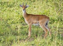 Impala i Uganda Arkivfoto