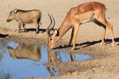 Impala i Warthog udzielenie woda jesteśmy łatwi - Afrykańska przyroda - Obrazy Stock