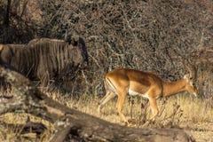 Impala i wildebeest chodzi wpólnie zdjęcia stock