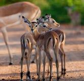 Impala im wilden lizenzfreie stockbilder