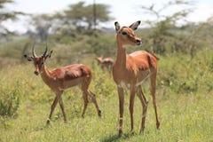 Impala. S in African savannah Masai Mara Stock Images