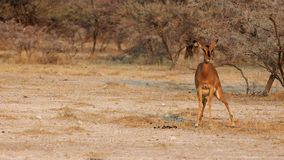 impala ing shi Fotografia Stock