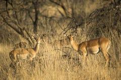 Impala ja traw południe Africa fotografia royalty free