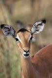 Impala joven Fotografía de archivo