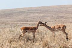 Impala joven Buck Affections Wildlife Foto de archivo libre de regalías