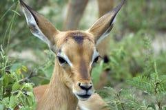 Impala joven [melampus del Aepyceros] Fotografía de archivo libre de regalías