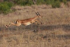 Impala Jump Royalty Free Stock Photography