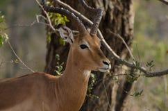 Impala-Kalb-Stellungs-Uhr Stockfotografie