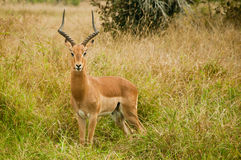 Impala in the Kruger National Park Royalty Free Stock Photos