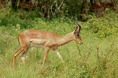 Impala at Kruger National Park Royalty Free Stock Photos