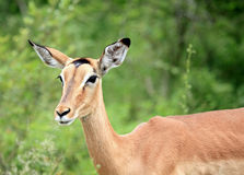 Impala at Kruger National Park Royalty Free Stock Photography
